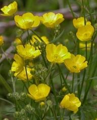 Meadow buttercup (Ranunculus acris)