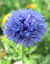 Thimble flower (Gilia capitata)3