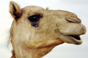 Camel eyelashes